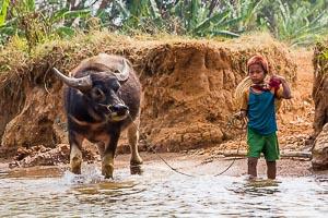 Birmanie buffle d'eau