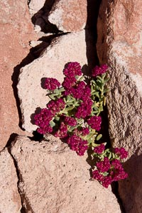 roses d'Atacama