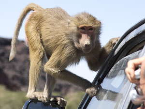 babouin gelada
