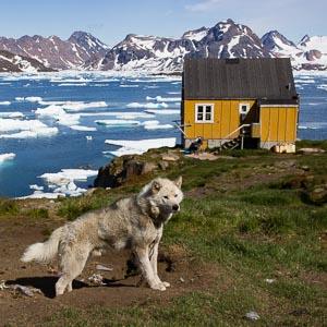 chien du Groenland