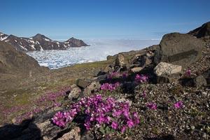 Groenland fleur