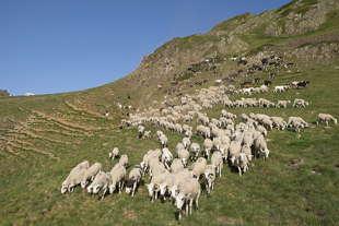 moutons port de la bonaigua