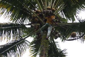 cueillette noix coco