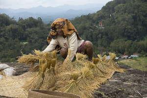 Sulawesi rizière