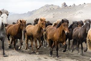 Laugavegur cheval islandais