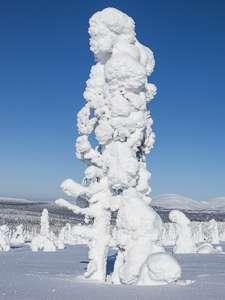Laponie arbre givré