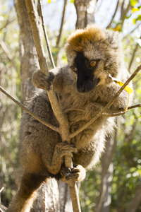 lemur eulemur fulvus