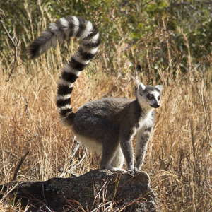 Madagascar maki catta