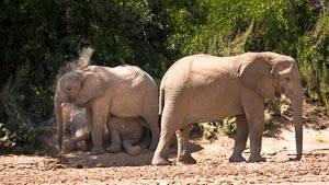 elephant du desert