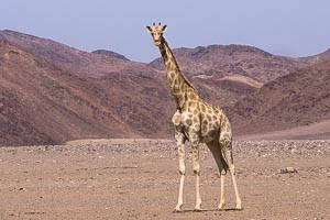 hoanib girafe