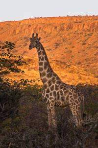 namibie girafe