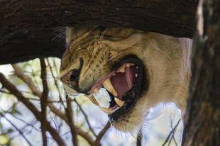 lion Manyara