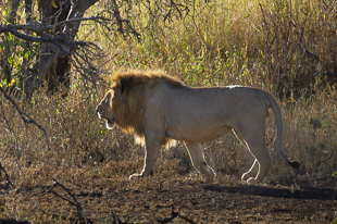 lion Tanzanie