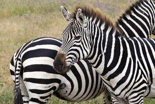 zèbre Ngorongoro