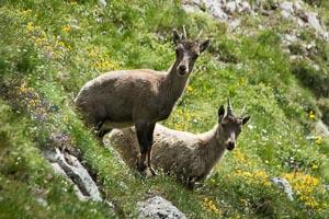 bouquetins Alpe du Lauzet